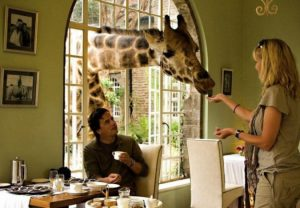 ...where the giraffes are as common a guest as the humans...